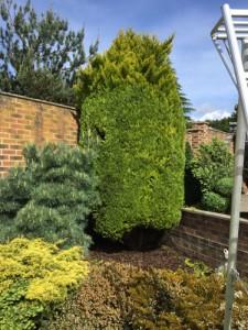 Fir Tree Pruning in Ash