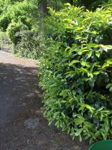 Hedge Cutting in Frensham Vale